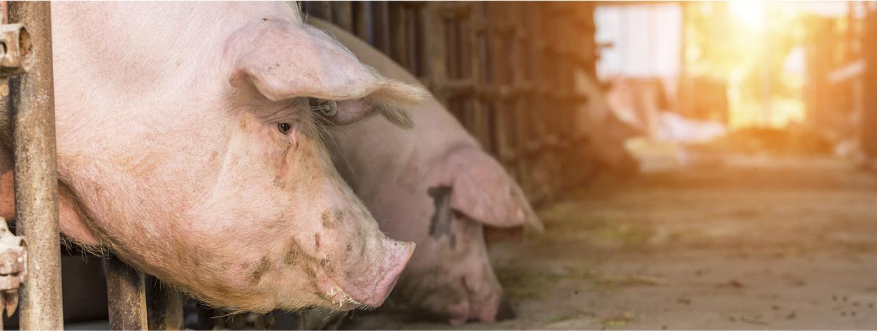 schweinslider-